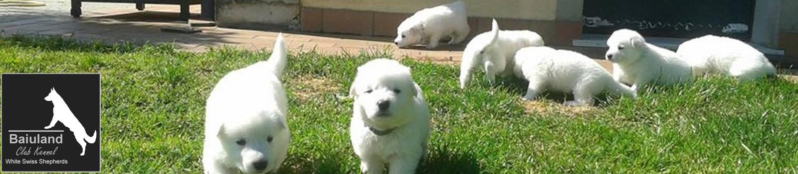 inbreeding in today's pet dog - BAIULAND Club Kennel