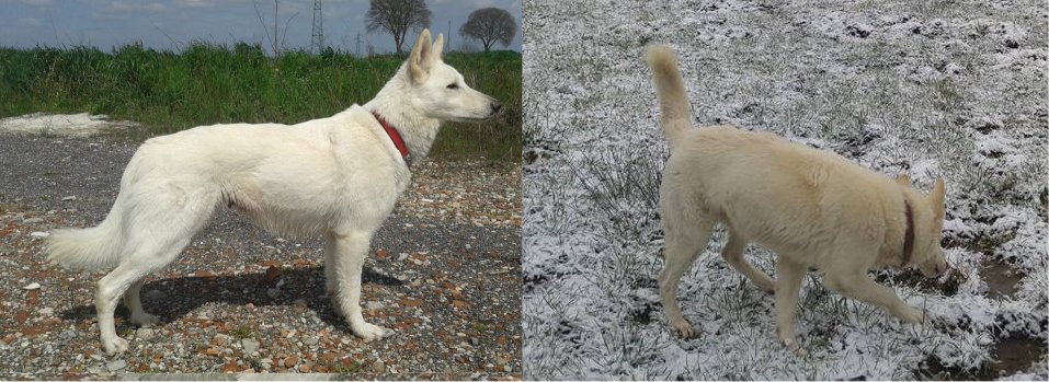 scalagolden White Swiss Shepherd's Coat Colour Genetics Explained. WSS is not congenitally Deaf