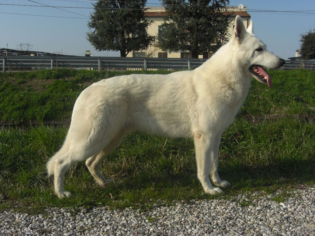 White Swiss Shepherd Stud Avaiable for Matings
